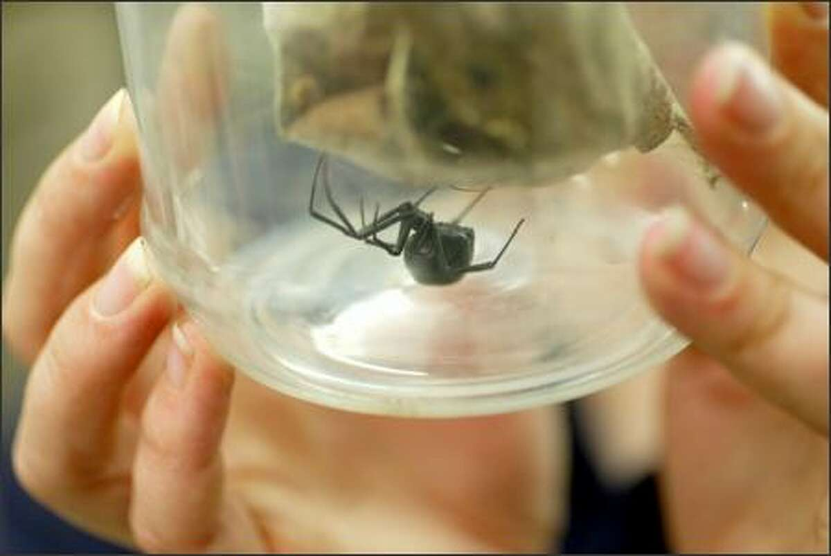 """Leesie Ballew, of Shoreline, found a black widow spider in her grapes and donated the spider to the Woodland Park Zoo on Tuesday. """"Bessie"""" will soon look like this black widow, held by lead keeper Erin Sullivan, which was donated to the zoo by Whole Foods in 2004."""