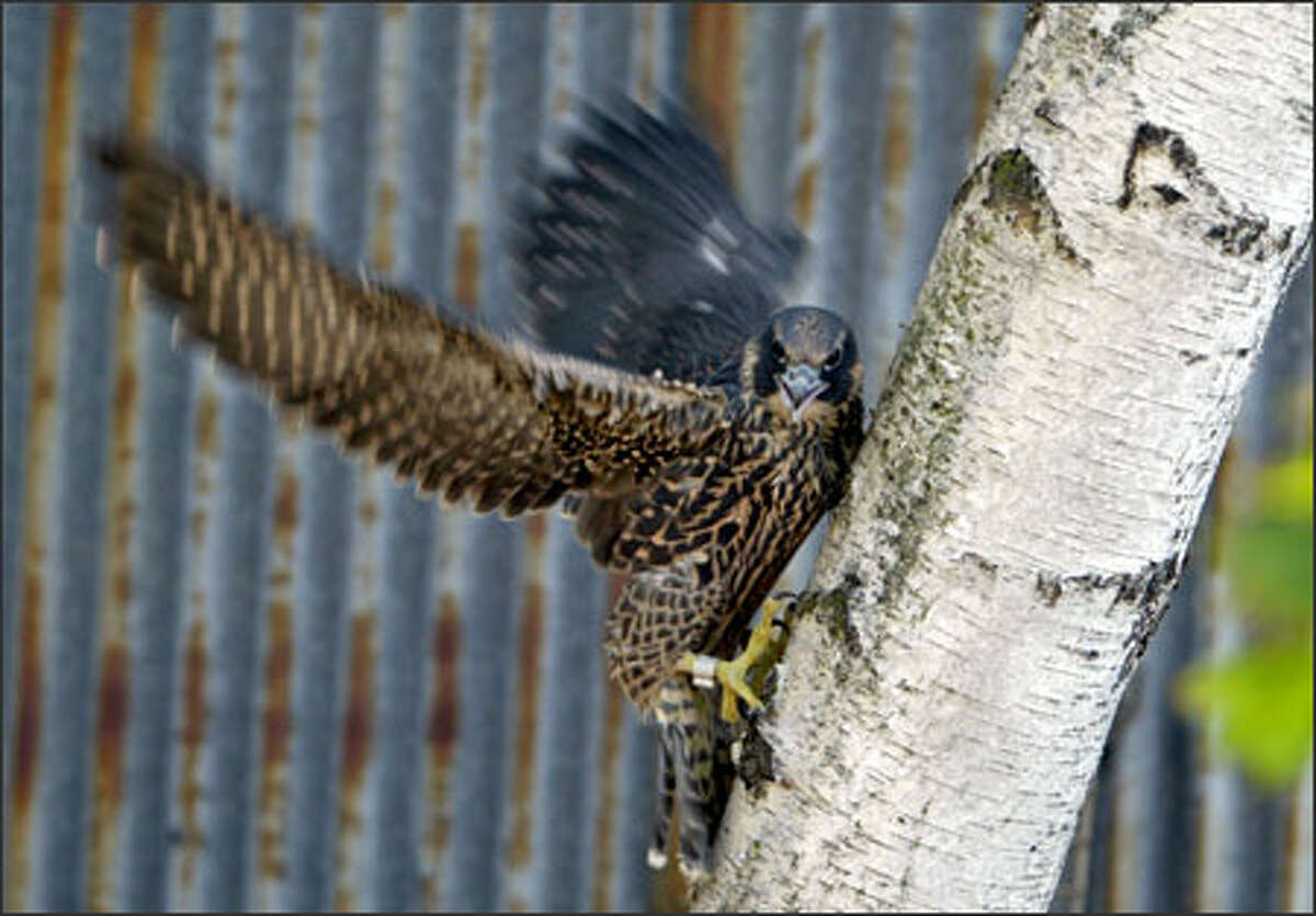 A young female peregrine falcon tries to get a foothold on a tree. Called an eyas because it has not yet fledged and cannot fly, the bird was found in a parking lot near the Ship Canal Bridge in Seattle. After local falconer Cliff Kellogg rescued the bird, she was taken for a medical evaluation at Woodland Park Zoo. Kellogg will take the bird home and teach her to fly and capture her own food before releasing her into the wild.