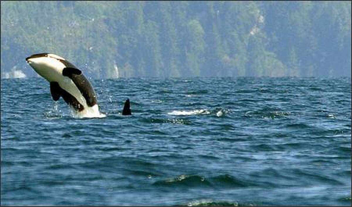 It's not uncommon to see orcas in Barkley Sound.