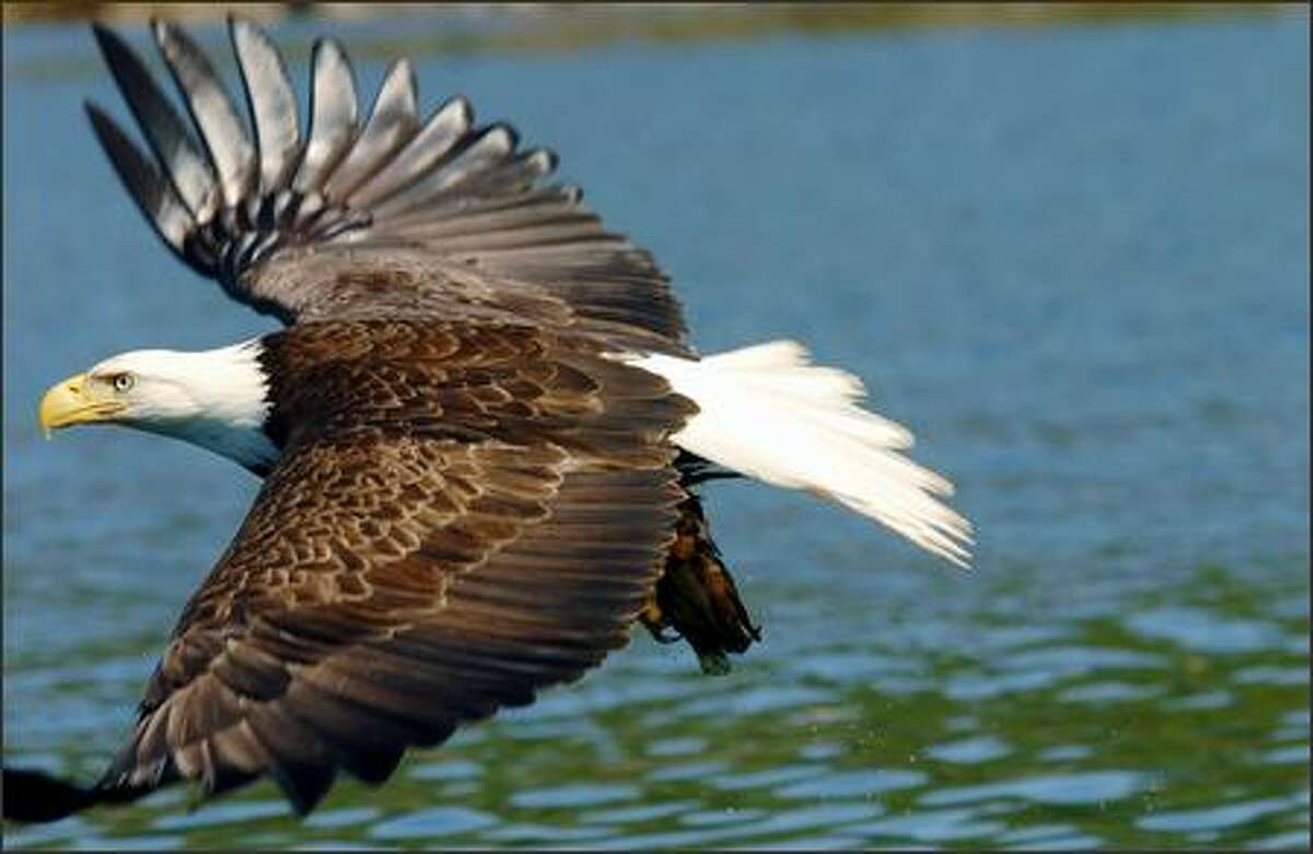 Princess the bald eagle flies off with her catch after nature guide Charlie Everard threw her a fish.
