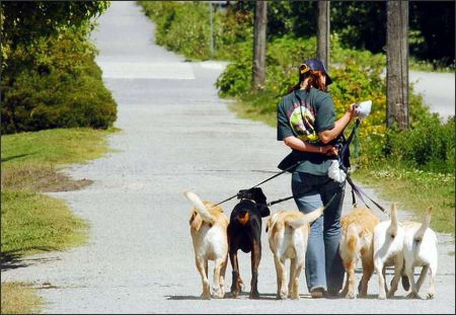 Unlike this woman and the six dogs she's walking, not everyone obeys the trail's leash laws, so bicyclists need to be careful. Photo: Jeff Larsen, Seattle Post-Intelligencer / Seattle Post-Intelligencer