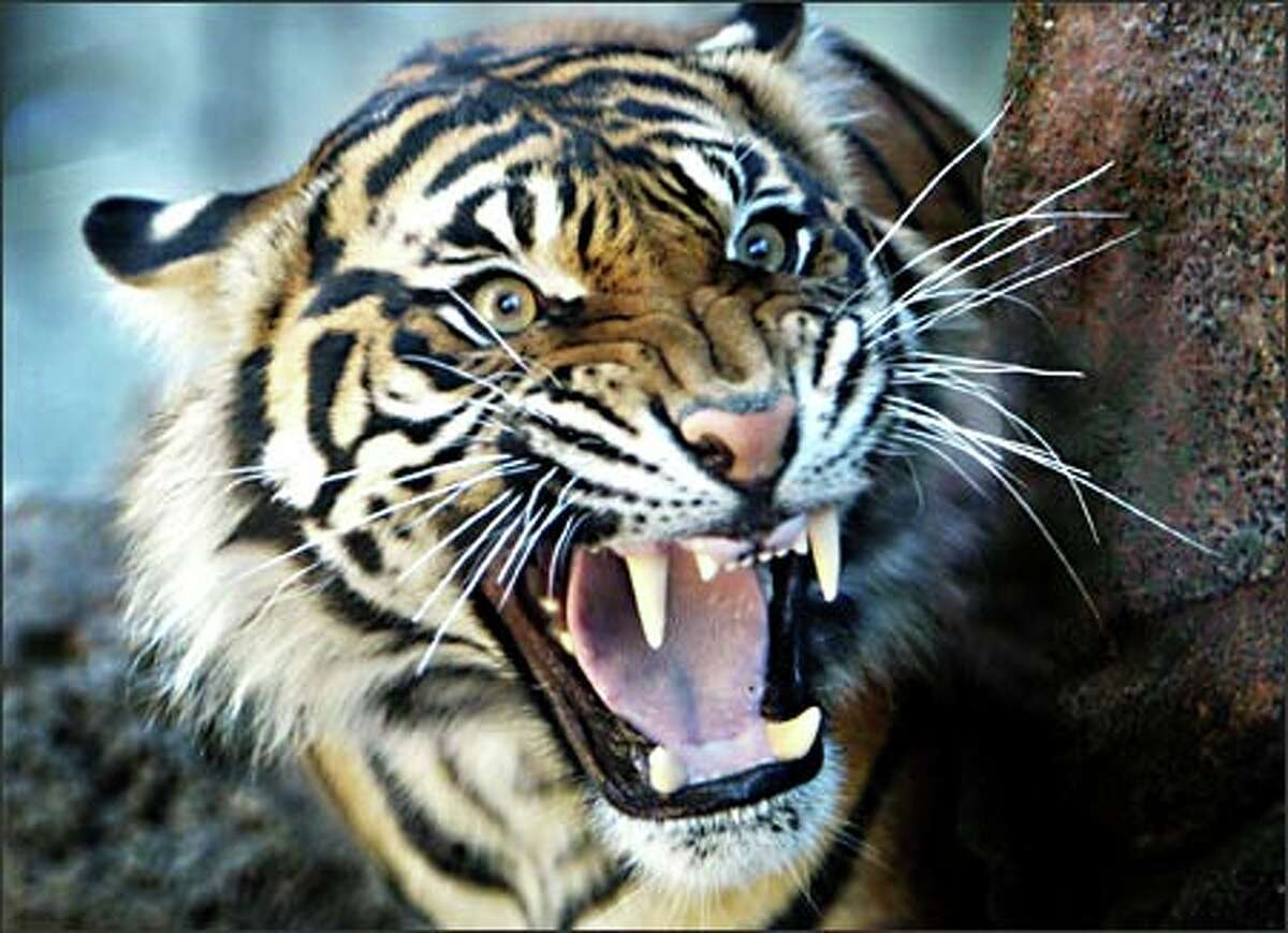 Jaya, a Sumatran tiger cub, snarls at visitors to a new $10 million Asian forest exhibit at the Point Defiance Zoo and Aquarium in Tacoma.