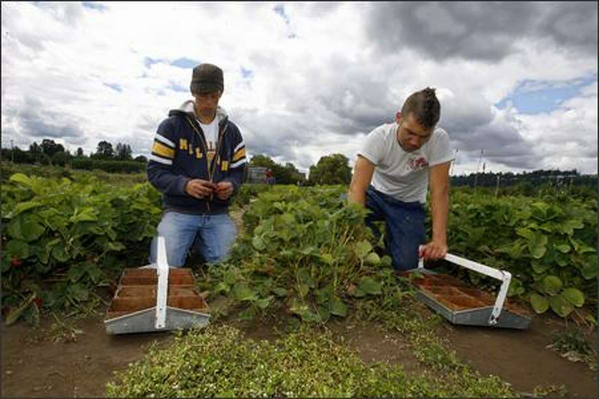 Joe Hayter, 17, left, and Sam Field, 18, both of Puyallup pick strawberries at the WSU's research station located at the Goss Farm in Puyallup.