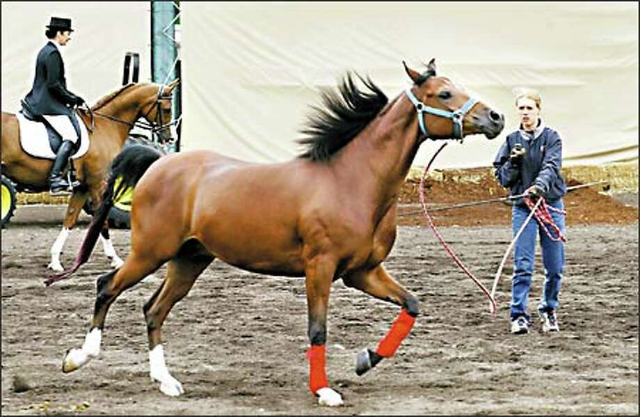 Brianna York works out her new horse MLC Denali, a purebred Arabian, as she tries to expend the animal's excess energy before taking her out for a ride at the Region 5 24th annual Championships All-Arabian Horse Show on Tuesday. Photo: Scott Eklund, Seattle Post-Intelligencer / Seattle Post-Intelligencer