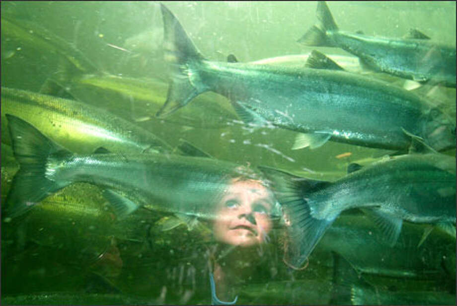 Ayiana Betts, 4, of Edmonds, watches sockeye salmon at the Ballard Locks. Her grandmother, Carolyn Gustafson, took her there to prove that fish really do exist in local waters. Aiyana goes out with her great-grandfather, James Whitney, every Sunday, but his lack of luck left her wondering if there really was anything down there. Photo: Karen Ducey, Seattle Post-Intelligencer / Seattle Post-Intelligencer