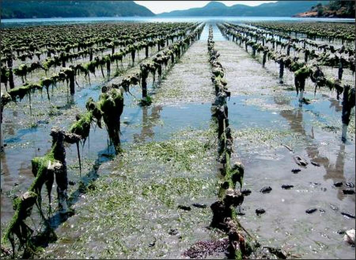 An incoming tide creeps into Crescent Bay on Orcas Island, slowly covering this Judd Cove-brand oyster operation.
