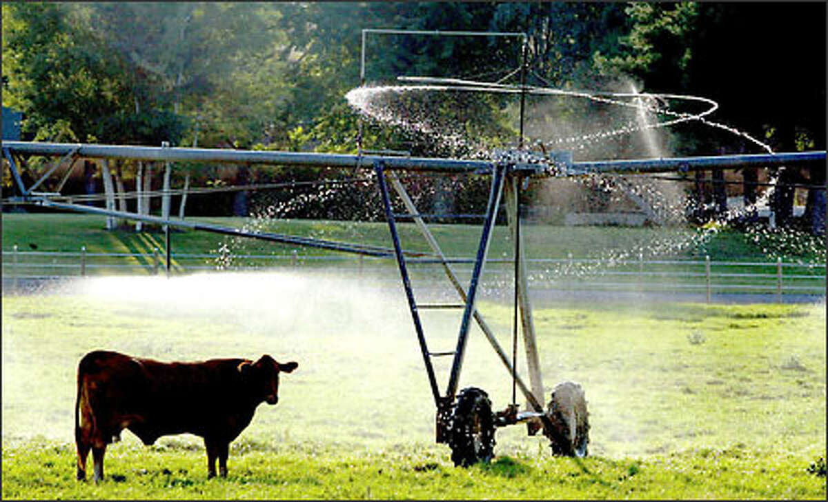 Humans aren't the only ones affected by the summer weather. Here, a cross-bred beef cow finds a little relief from the day's heat by standing under a water-driven circle sprinkler recently in Ephrata.