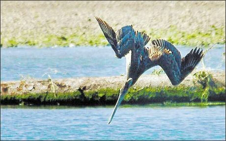 A brown pelican dives for a fish outside the River's Edge Restaurant in La Push. Photo: Jeff Larsen, Seattle Post-Intelligencer / Seattle Post-Intelligencer