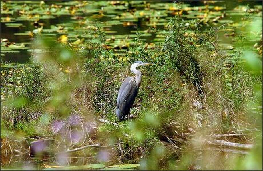 A great blue heron hunts on a pond along the road between Metalin Falls and Boundary Dam in Pend Oreille County. Photo: Jeff Larsen, Seattle Post-Intelligencer / Seattle Post-Intelligencer