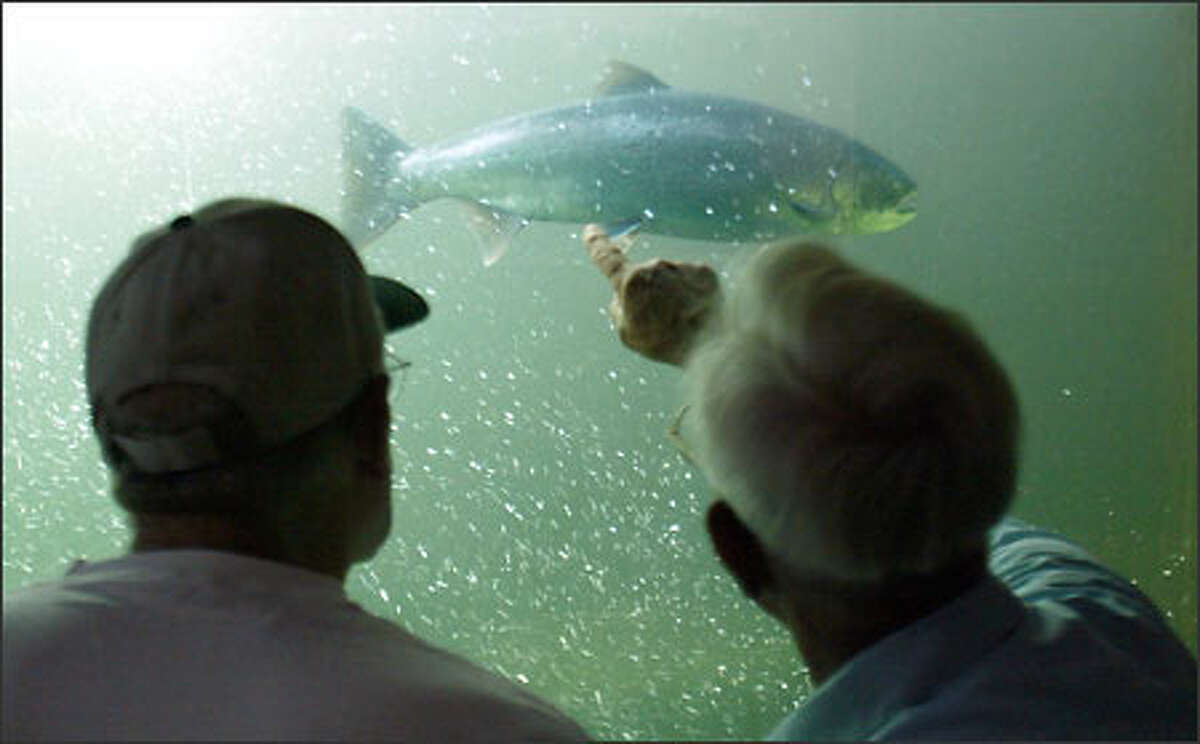 Eugene Blonder, a retired fisheries biologist, points out the difference between a hatchery salmon and a wild salmon to John Verheyden, who was visiting the Ballard Locks. Hatchery fish have had their adipose fins clipped off. The chinooks are running the locks now, with the cohos expected any day.