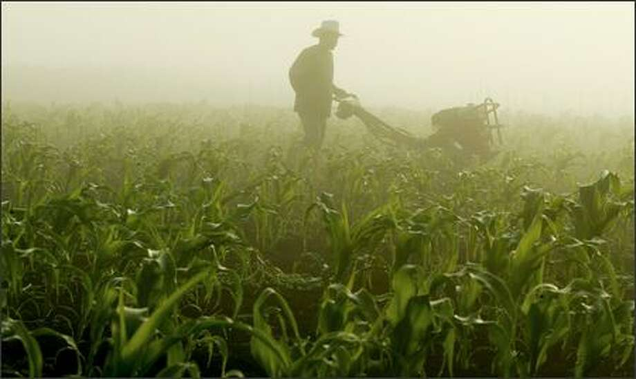 A late August fog shrouds Carlo Coroda as he rototills a cornfield at Charlie's Organic Produce in Snohomish. Photo: Paul Joseph Brown, Seattle Post-Intelligencer / Seattle Post-Intelligencer