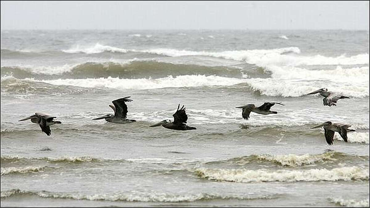 Pelicans glide over the waves near the beach town of Seabrook at Pacific Beach, Wash. (Dan DeLong/Seattle P-I)