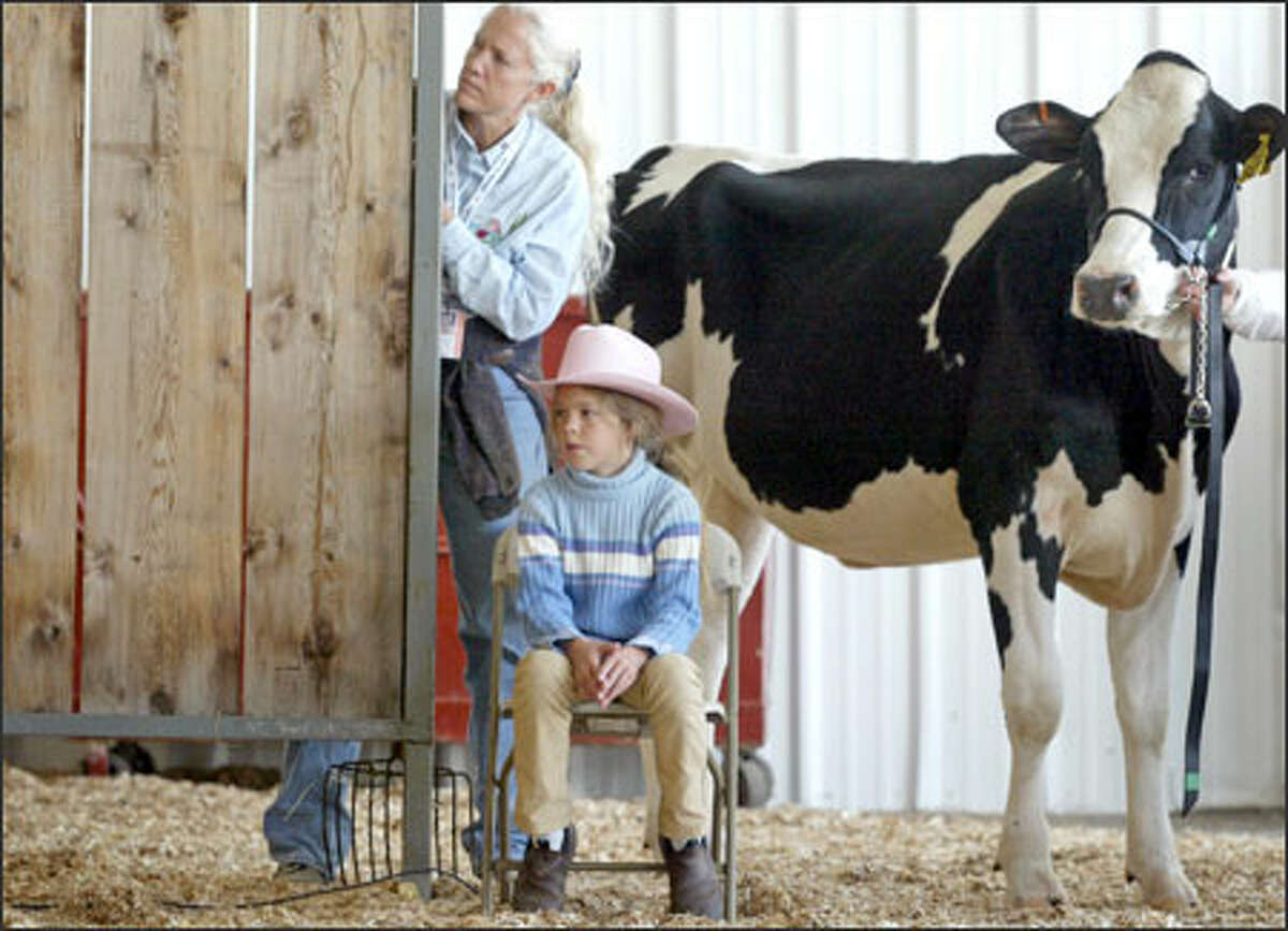 Rio Mowbray, 9, of Clallam County, barn crew member Wendy Smith of Belfair and contestant Dodge watch from stage right during cow competitions at the Puyallup Fair. Cows were judged on various attributes, including meatiness and behavior.