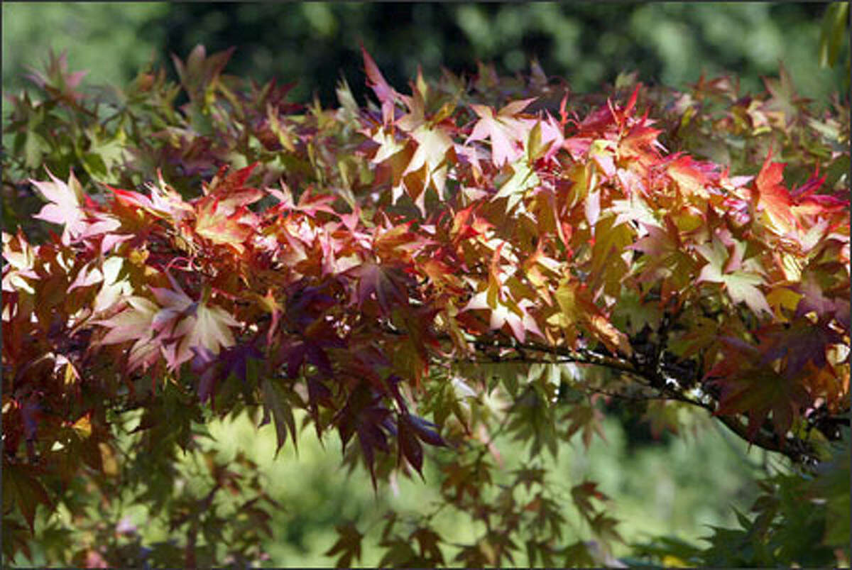 With the changing of colors on a Japanese maple at the Arboretum as the harbinger of autumn, Seattle said goodbye to summer last Wednesday.