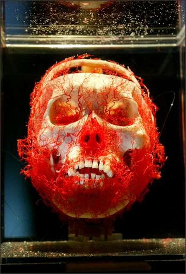 "The skull and arteries of the head can be studied this display in the controversial ""Bodies...The Exhibition"" at the Washington State Convention and Trade Center through Dec. 31. Photo: Karen Ducey, Seattle Post-Intelligencer / Seattle Post-Intelligencer"
