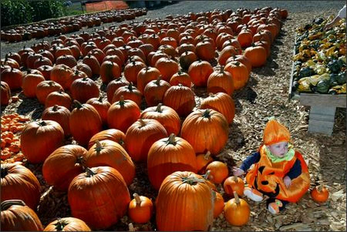 Alex Neunherz, age 12 months, stares at his mother, who is taking a picture of him in his pumpkin outfit at Carpinito Brothers Farm in Kent.