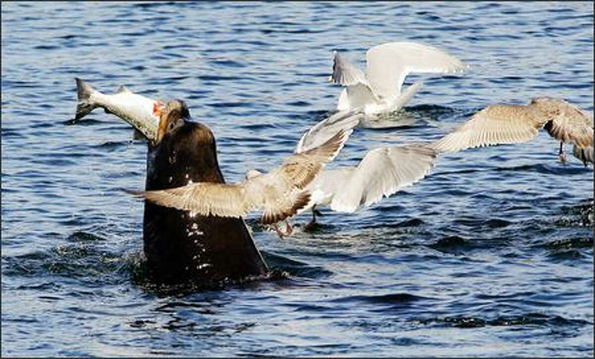 A sea lion devours a salmon as seagulls fly overhead waiting for scraps near the fish ladder at the Hiram M. Chittenden Locks in Ballard on Monday. At times, four of these giant sea creatures were seen playing with and then eating salmon as Suquamish tribal fisherman worked their nets in the same waters.