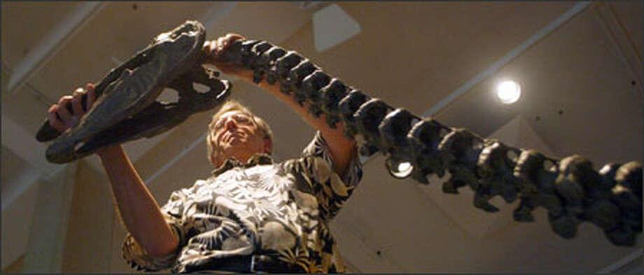 Arn Slettebak, curator of the Burke Museum's exhibit division, installs a skeleton cast of Dromornis stirtoni, a large, flightless bird that lived more than 8 million years ago. Photo: Karen Ducey, Seattle Post-Intelligencer / Seattle Post-Intelligencer