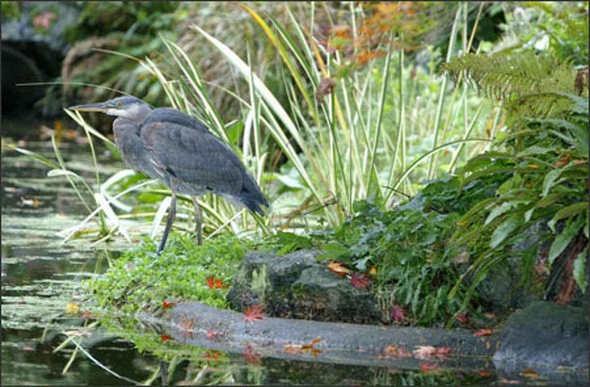 A blue heron perches itself on the edge of a small pond, patiently waiting for its next meal to swim by at the Washington Park Arboretum near the University of Washington.