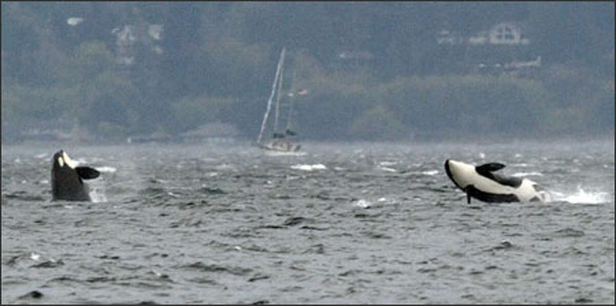 Two orcas breach off Seattle's Golden Gardens Park as a pod moves south toward Tacoma Tuesday. According to Howard Garrett of the Orca Network Center, the orcas most likely were J-pod, which has 24 orcas, plus an unknown number from L-pod. Orcas from the two pods were seen meeting up in the Strait of Juan de Fuca on Monday.