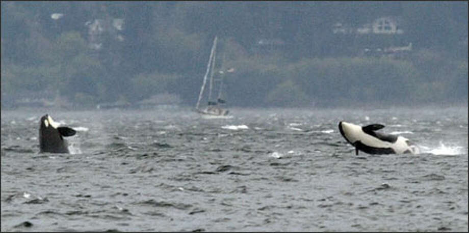 Two orcas breach off Seattle's Golden Gardens Park as a pod moves south toward Tacoma Tuesday. According to Howard Garrett of the Orca Network Center, the orcas most likely were J-pod, which has 24 orcas, plus an unknown number from L-pod. Orcas from the two pods were seen meeting up in the Strait of Juan de Fuca on Monday. Photo: Gilbert W. Arias, Seattle Post-Intelligencer / Seattle Post-Intelligencer
