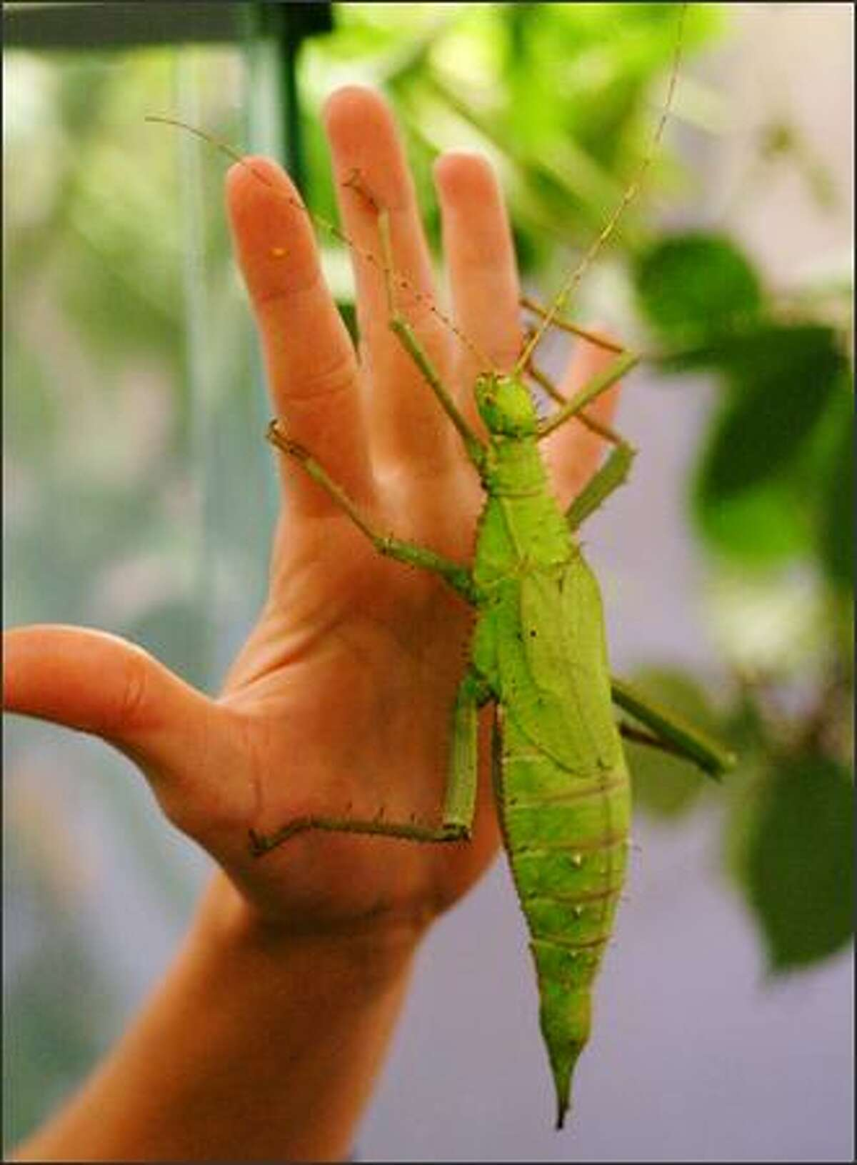 The Malaysian jungle nymph is about the size of Victoria Bug Zoo guide Melissa Pietrasik's hand.