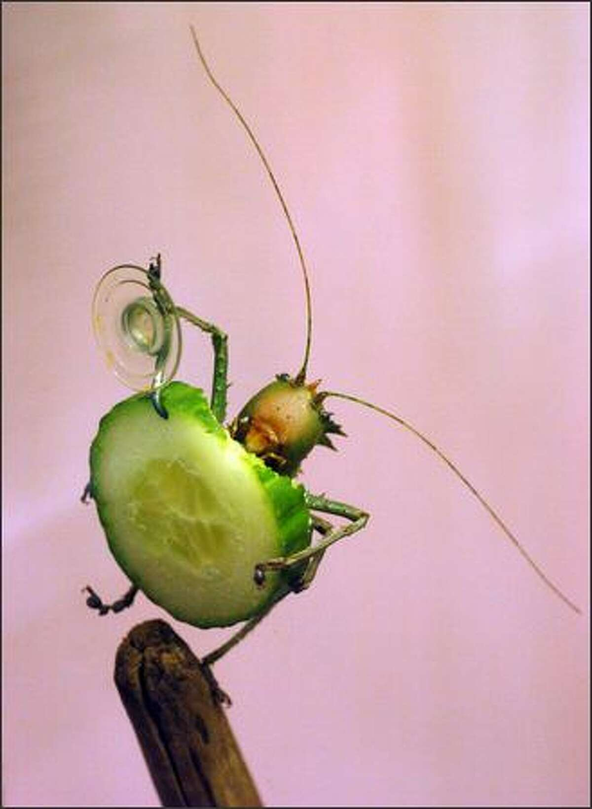 A dragon-headed cricket wolfs down a cucumber slice at the Victoria Bug Zoo.