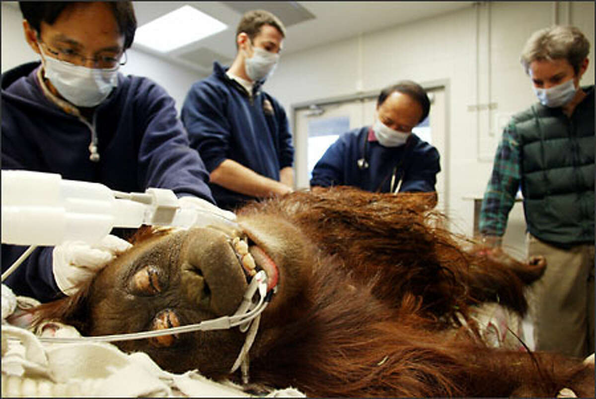 During a routine medical exam at Woodland Park Zoo, Belawan, a 22-year-old resident female orangutan, gets inspected by visiting doctors from Indonesia. They were observing the procedures as part of the training program in wild animal medicine on Thursday. Belawan was found to be healthy, although showing some signs of aging.