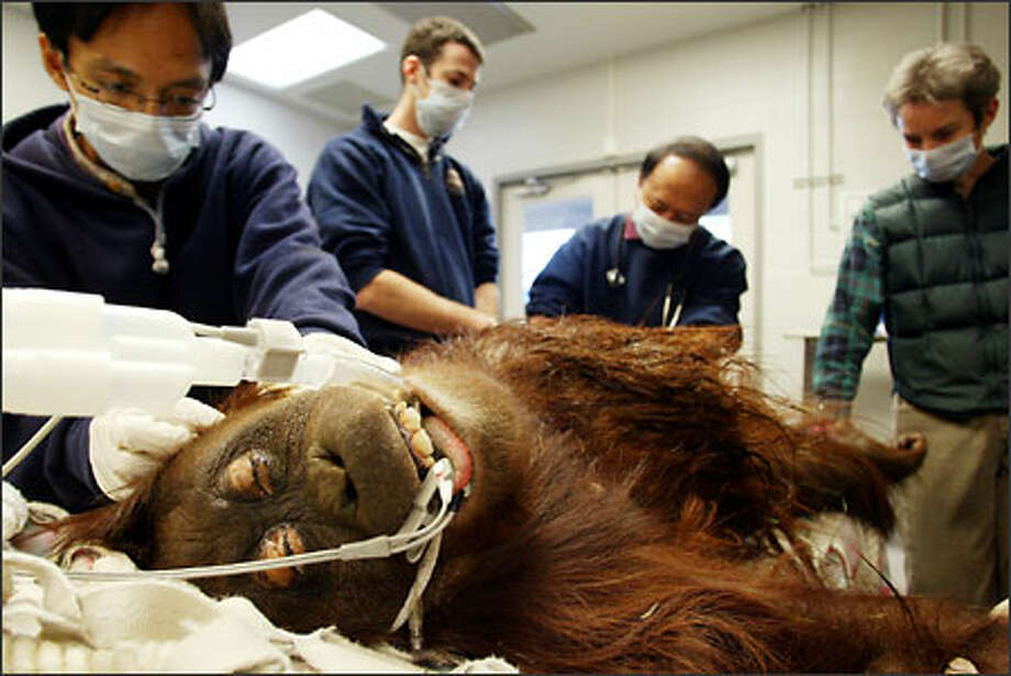 During a routine medical exam at Woodland Park Zoo, Belawan, a 22-year-old resident female orangutan, gets inspected by visiting doctors from Indonesia. They were observing the procedures as part of the training program in wild animal medicine on Thursday. Belawan was found to be healthy, although showing some signs of aging. Photo: Meryl Schenker, Seattle Post-Intelligencer / Seattle Post-Intelligencer