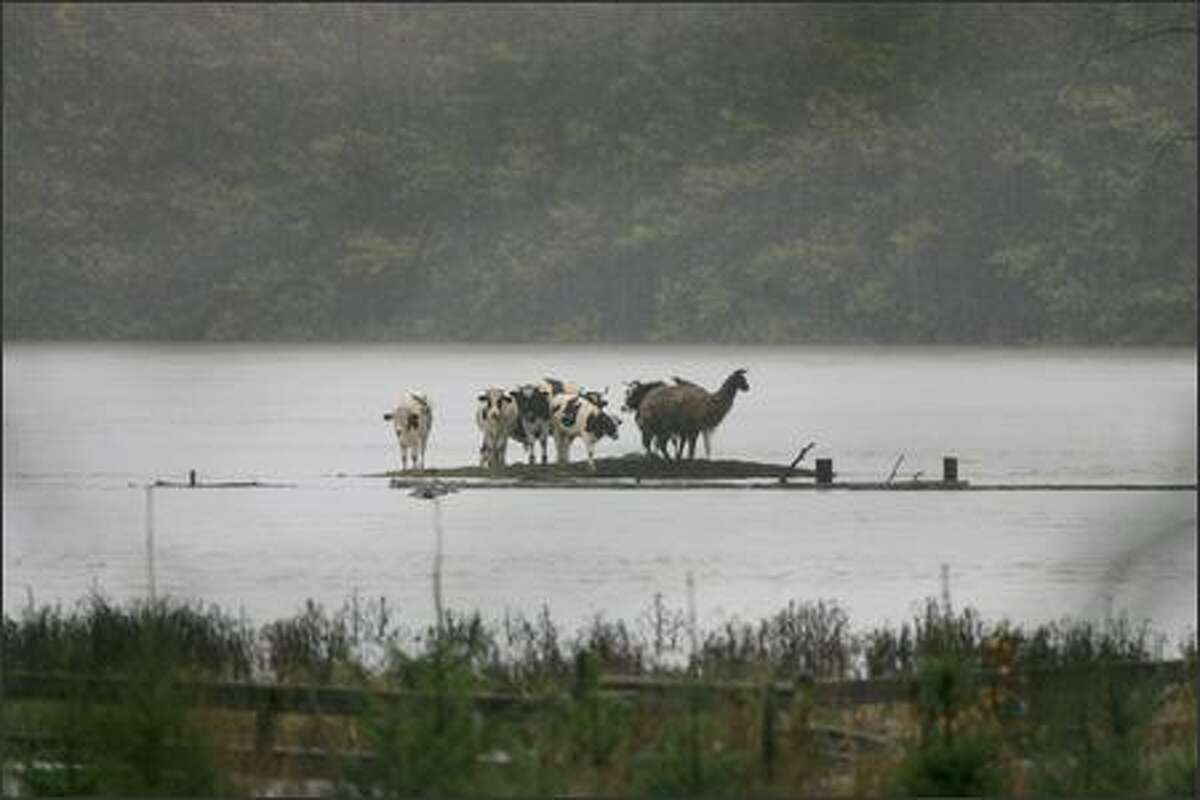 Cows and a llama find refuge from the floodwaters of the Snoqualmie River on a small piece of high ground near Duvall on Tuesday.