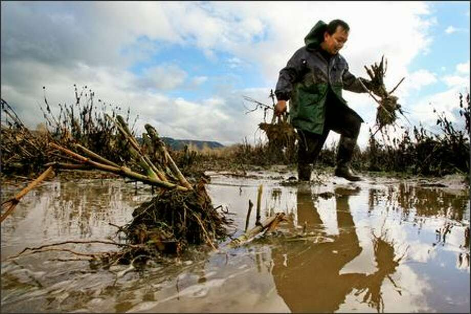 "Blong Cha carries dahlia tubers salvaged Thursday from his fields flooded by the Snoqualmie River near Fall City. Cha expects at least half of the dahlias ""will be OK.""  Floodwaters ruined many crops in the region. Photo: Dan DeLong, Seattle Post-Intelligencer / Seattle Post-Intelligencer"