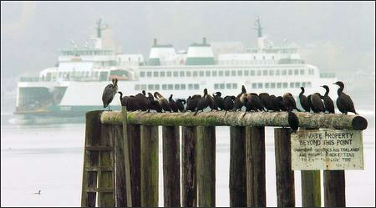 A great blue heron and a cast of cormorants preen themselves as a Washington State Ferry sails past off the southern end of Bainbridge Island.