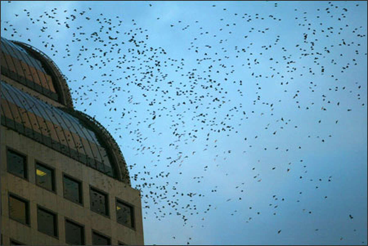 Hundreds of starlings swarm around sunset looking for a place to rest for the night. Many find trees between Macy's and Westlake Center on Fourth Avenue.