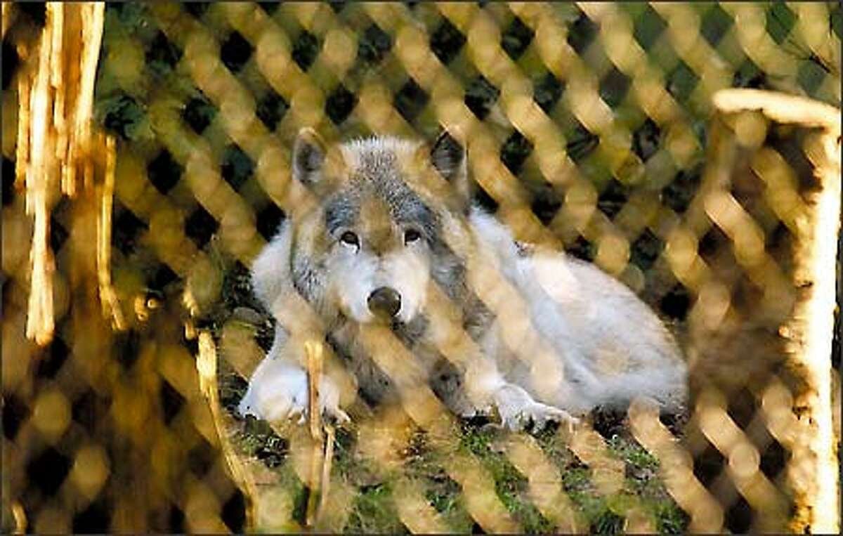 Napanee looks out on the outside world from a pen at Wolf Haven, a sanctuary for captive-born gray wolves near Tenino, south of Olympia.