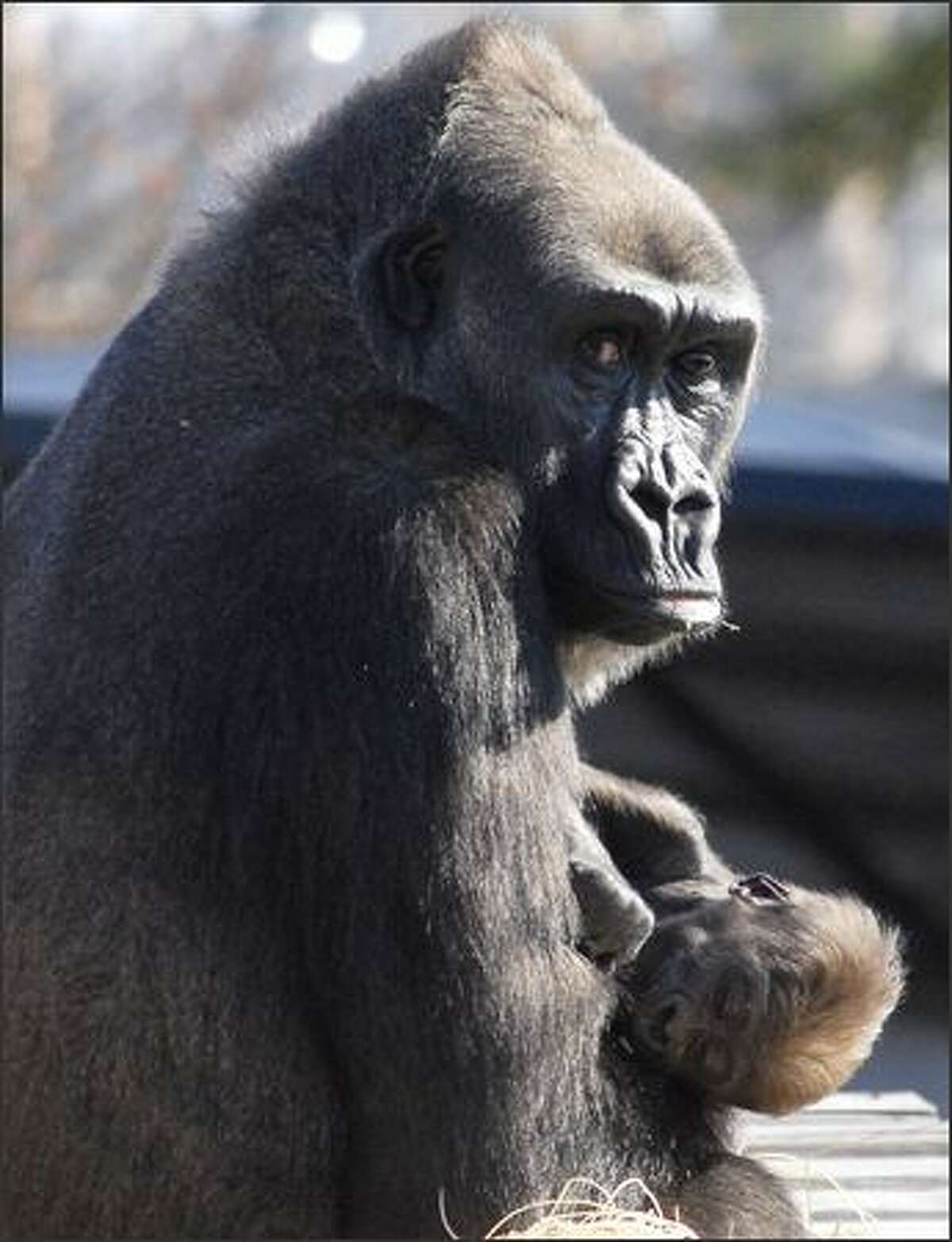 Sekani, a 16-year-old Western Lowland gorilla, holds her newborn at the Little Rock Zoo. The baby gorilla, who does not have a name yet, was shown to the public Saturday for the first time since he was born Oct. 10. (AP Photo/Mike Wintroath)