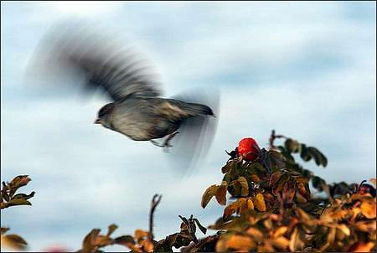 A sparrow takes flight from a bush along Lake Washington Boulevard near downtown Kirkland.