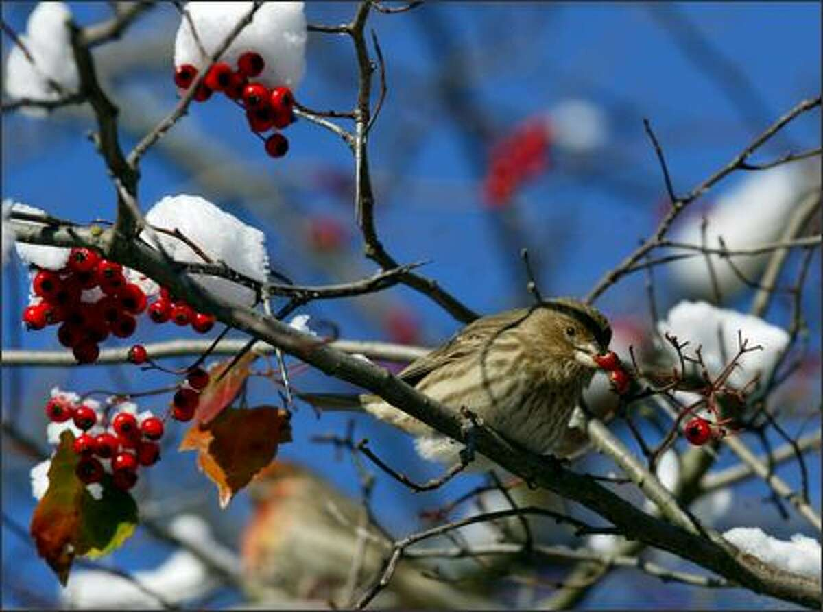 A small bird snacks on berries on a snowy branch along the Burke Gilman Trail in Lake Forest Park.