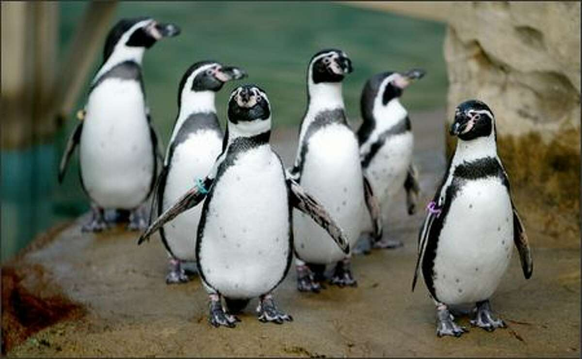 Humboldt penguins are shown at Woodland Park Zoo. The zoo's penguin exhibit will be moved in 2007.