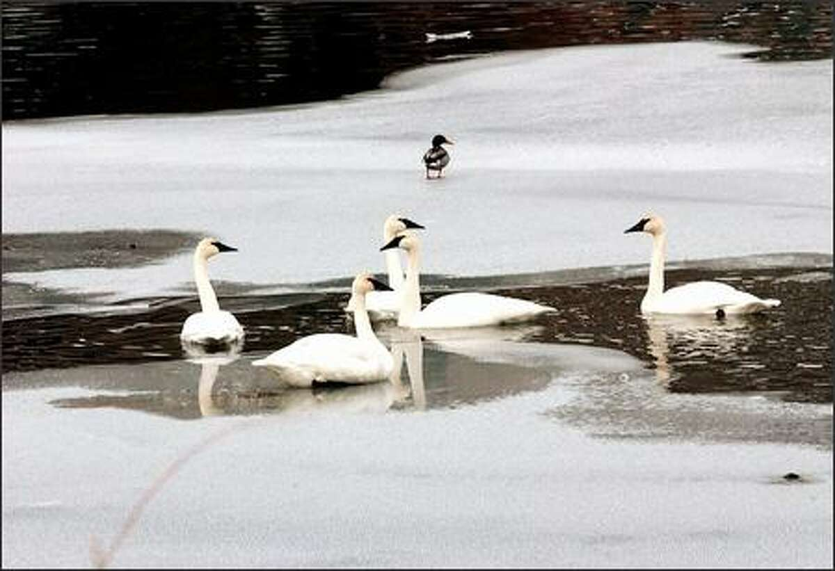 Trumpeter swans find a cozy break in the ice on the Methow River.