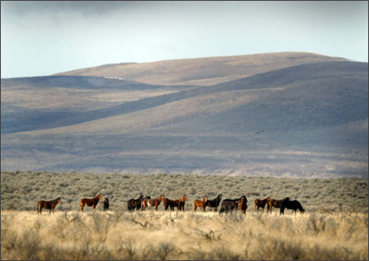 A band of wild horses roams the open range on the sovereign Yakama Indian Reservation in south-central Washington