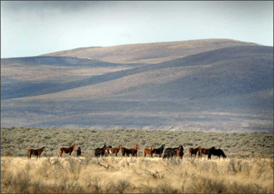 A band of wild horses roams the open range on the sovereign Yakama Indian Reservation in south-central Washington Photo: Joshua Trujillo, Seattlepi.com / Seattle Post-Intelligencer