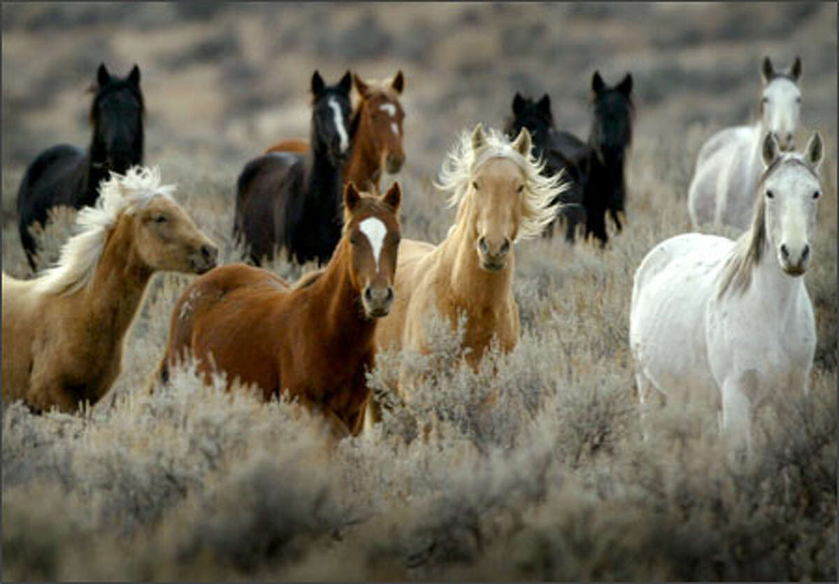 Wild horses roam through brush on the Yakama Indian Reservation earlier this month. It's believed up to 5,000 wild horses roam on the reservation.