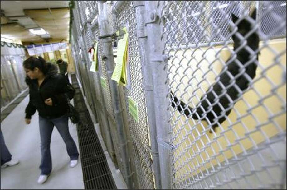 Kameiko Gray of Seattle looks at some of the dogs at the Seattle Animal Shelter on Tuesday. Seattle is about to begin a pet licensing campaign that would fine owners of unlicensed pets $125. Many of the animals at the shelter are strays whose owners could not be located because the animals were unlicensed. Photo: Andy Rogers, Seattle Post-Intelligencer / Seattle Post-Intelligencer