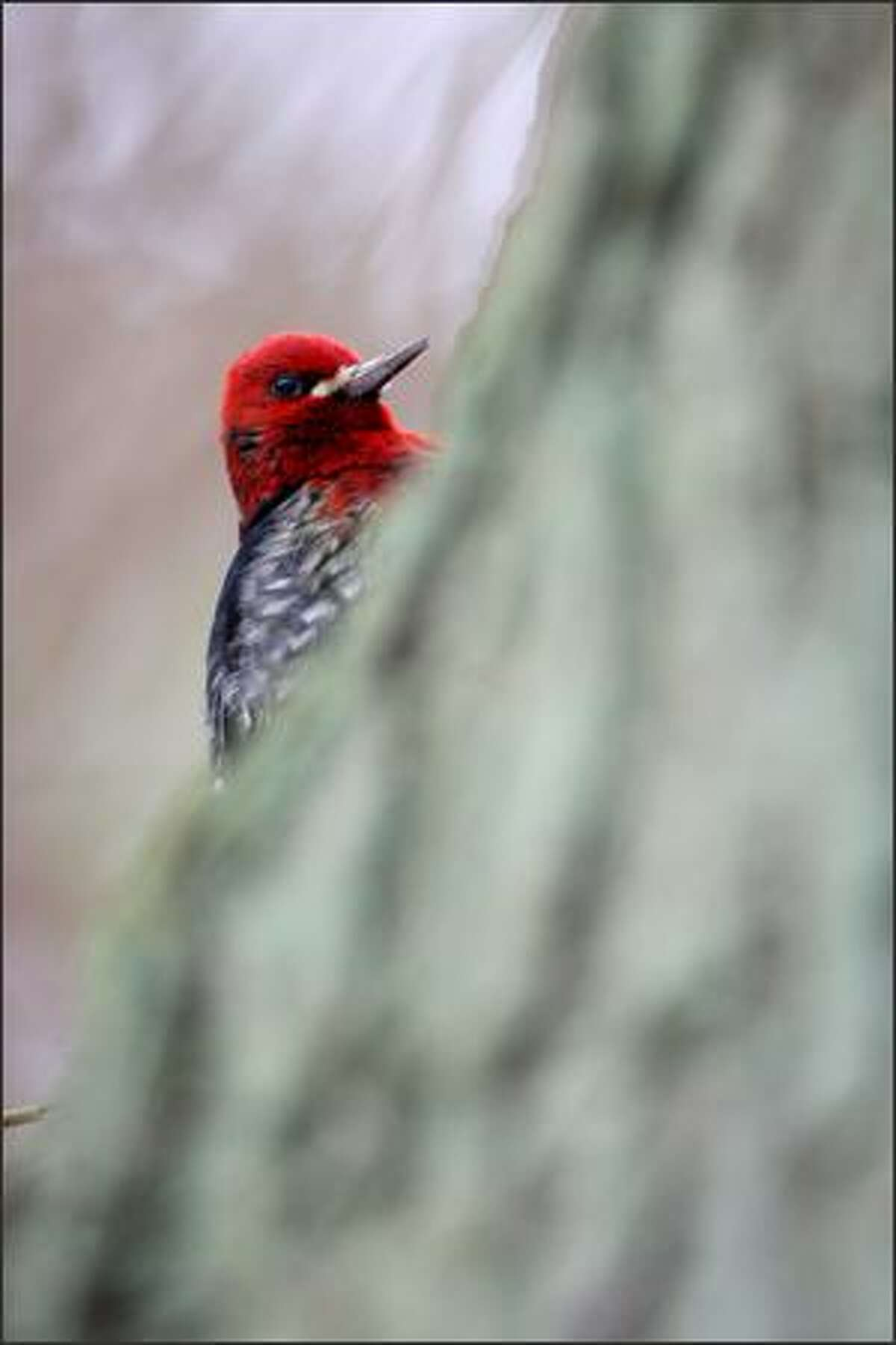 A red-breasted sapsucker in Discovery Park.