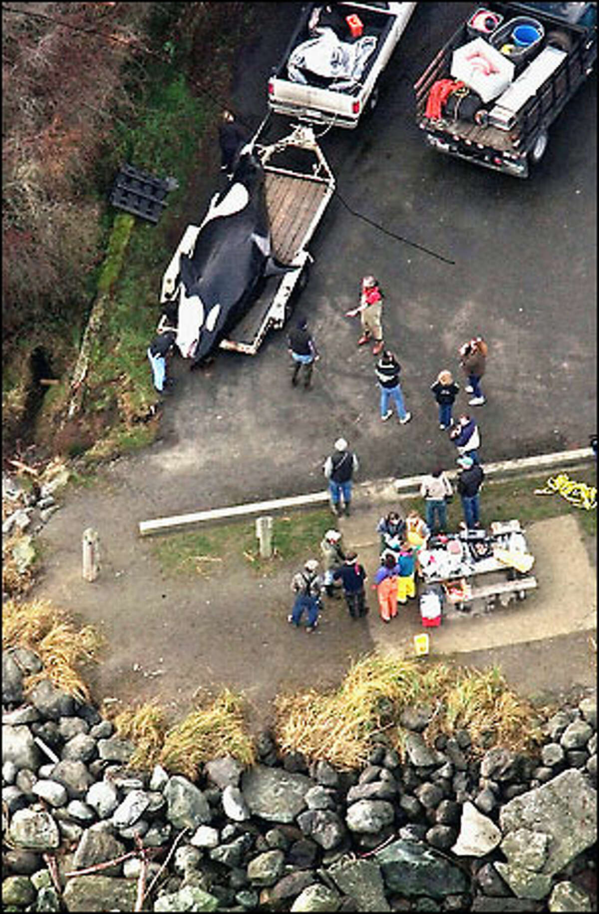 The dead female orca is loaded onto a trailer in preparation for a necropsy.