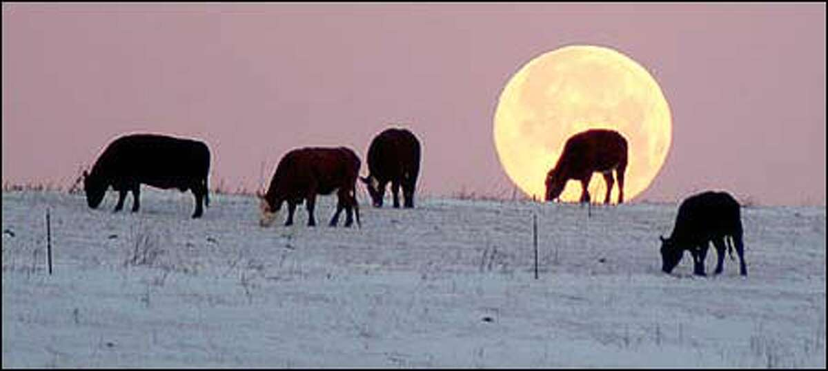 A cloudless, early morning sky offers a clear view of a full moon as it sets behind several cows grazing in a field in Ixonia, Wis., Wednesday, Jan. 7, 2004. (AP Photo/Watertown Daily Times/John Hart)
