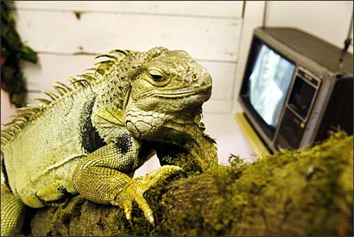 Mongo, a 4-year-old iguana, spends most of his days resting on a log and watching television at Sara's Sanctuary, a non-profit home to 200 abused, injured or abandoned animals.