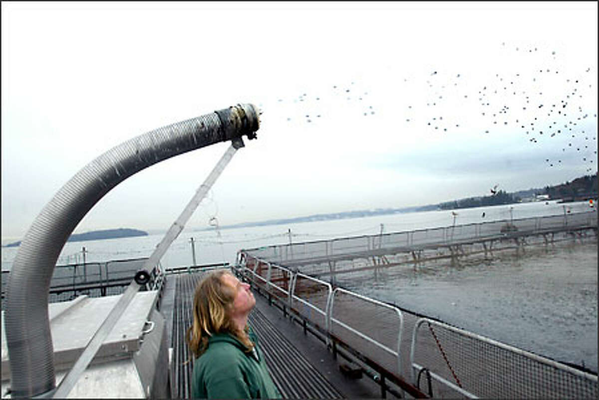 Jason Kalleuig turns on the automated fish feeder at Pan Fish USA Ltd., a fish farm on Bainbridge Island. The pellets, made mostly of fish meal, shoot into a pen filled with salmon.