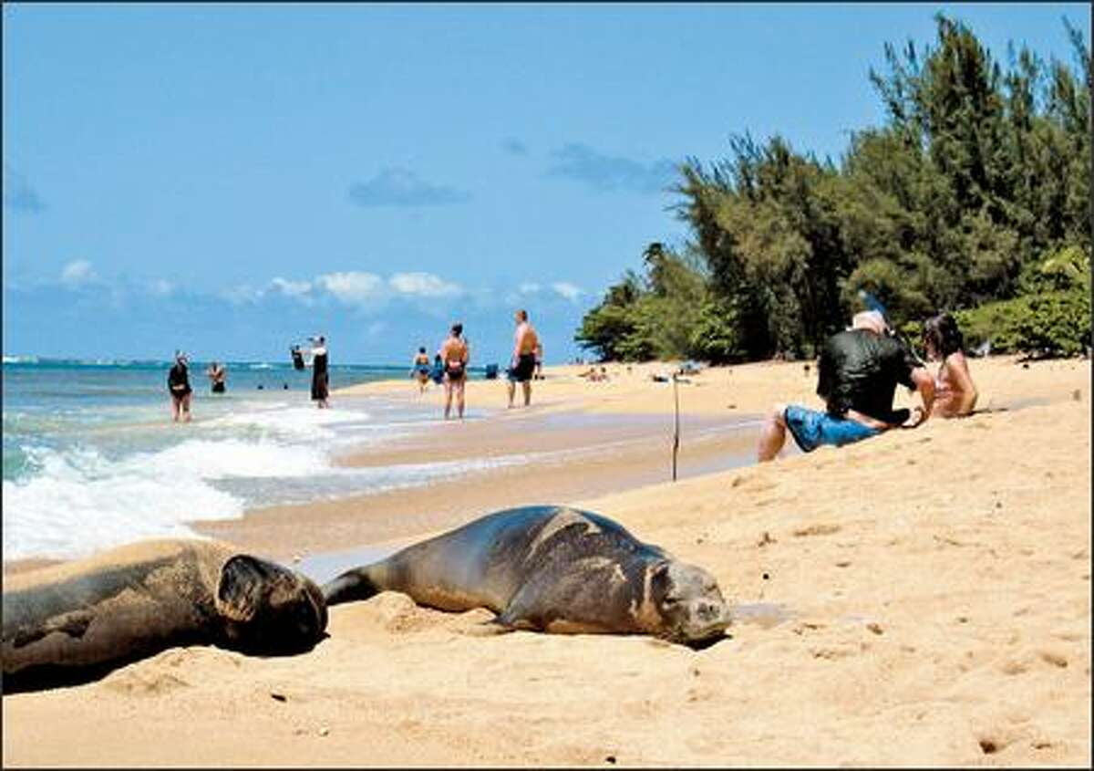 Hawaiian monk seals -- they're the creatures in the foreground -- are making a slow return to the main islands of Hawaii.