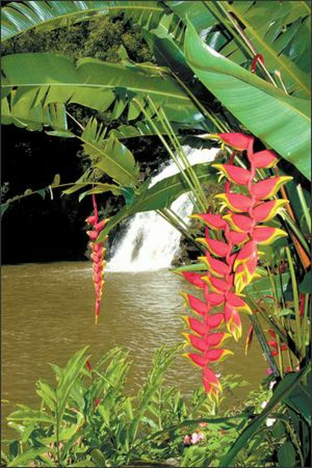 Hanging flowers known as heliconia accent the scene at 55-foot Waimea Falls in Waimea Valley Park on Oahu's North Shore. The park is run by the National Audubon Society.